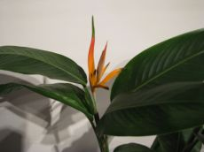 "heliconia ""olympic"""