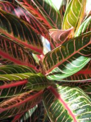 "aglaonema ""red diamond"""