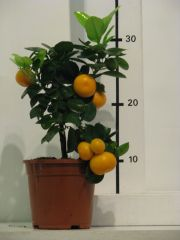 citrus calamondin
