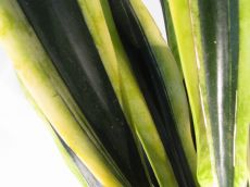 "sansevieria "" black gold"""