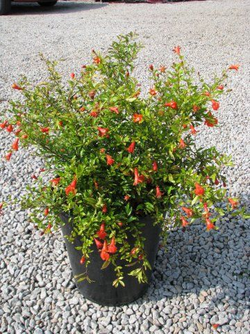 punica granatum nana florist 39 s plantica. Black Bedroom Furniture Sets. Home Design Ideas