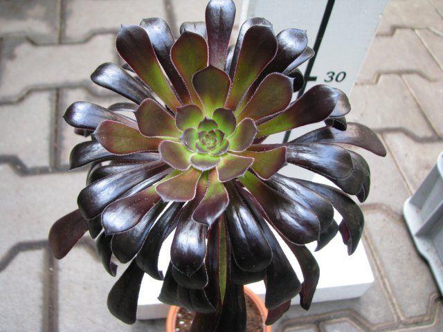 Aeonium Arboreum Quot Nigrum Quot Florist S Plantica