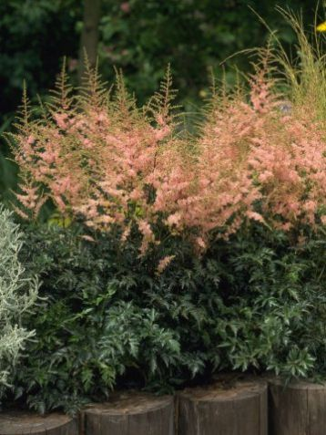 "Astilbe simple. ""hennie graafland"""