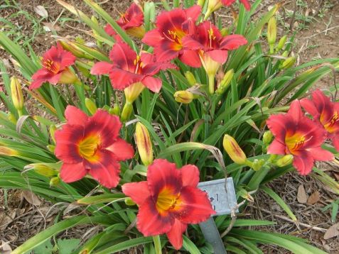 "Hemerocallis ""siloam show girls"""