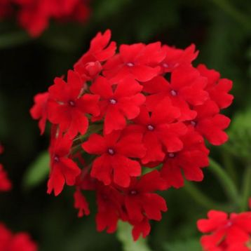 "Verbena ""aztec dark red"""