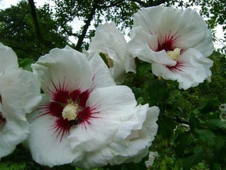 """Hibiscus syriacus """"monstrosus"""" - ibišek syrský, venkovní"""