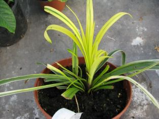 "liriope muscari ""gold banded"""