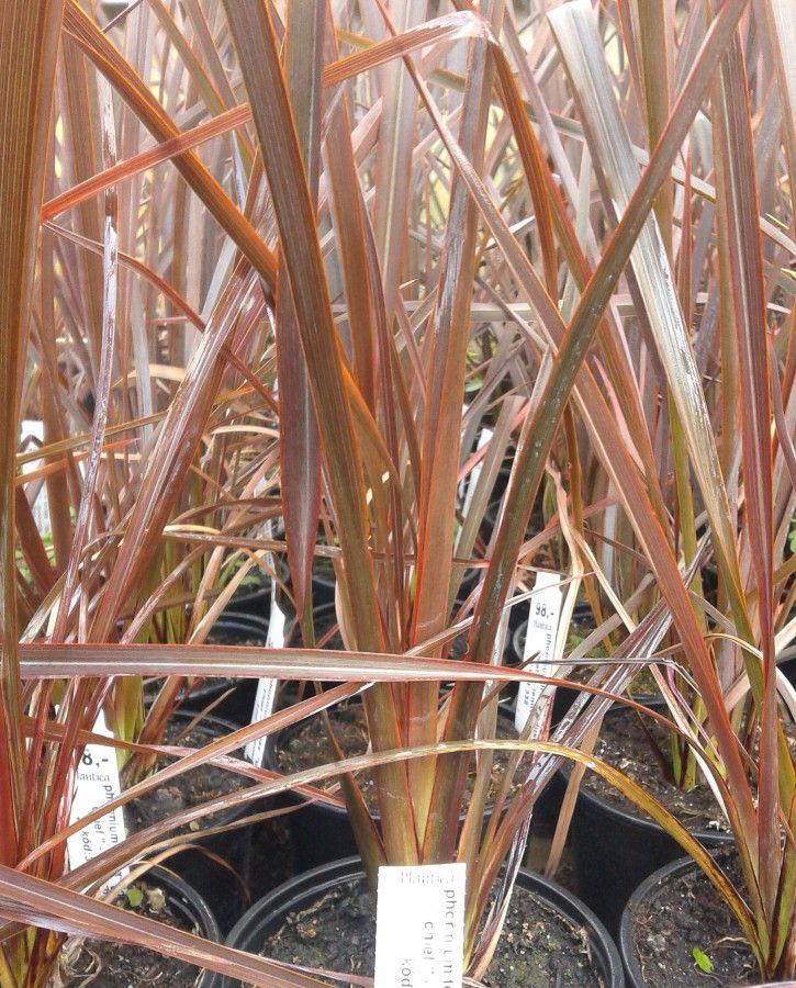 Phormium Tenax Dusky Chief Florist S Plantica