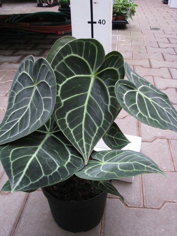 Anthurium Clarinervium Florist S Plantica