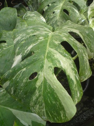 Monstera deliciosa variegata - monster white