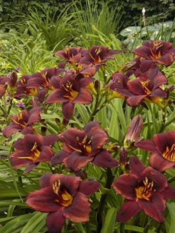 "Hemerocallis ""chocolate candy"" - denivka"