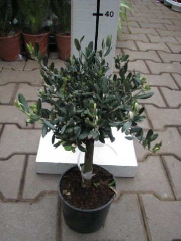 Olivovník pěstování