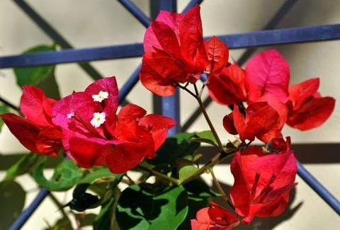 "Bougainvillea ""san diego red"""