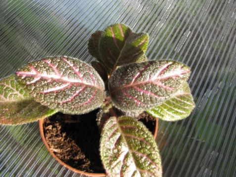 "Episcia ""country love"""
