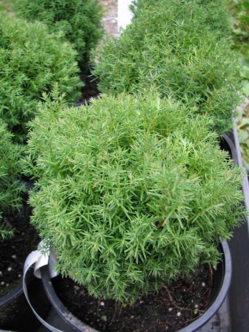 "Thuja occidentalis ""teddy"""
