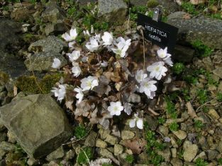 "hepatica nobilis ""white forest"""