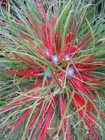 Bromelia Fascicularia Quot Bicolor Quot Florist S Plantica