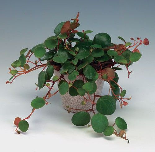 Peperomia Pepperspot Florist S Plantica