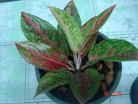 "Aglaonema commutatum ""happiness"""