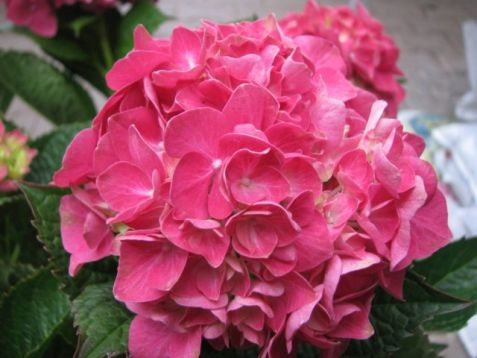 "Hydrangea macrophylla ""forever&ever ®"" red - hortenzie"