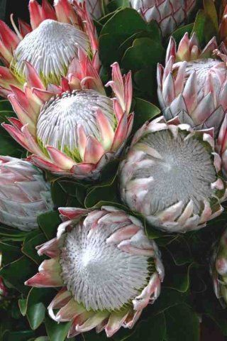 Special fertilizer for protea, leucospermum .....