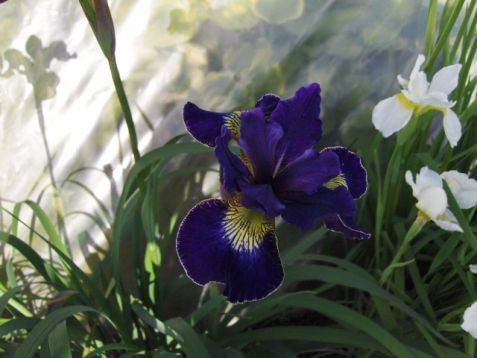 "Iris sibirica ""golden edge"""