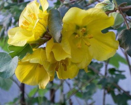 "Fremontodendron ""california gold"""