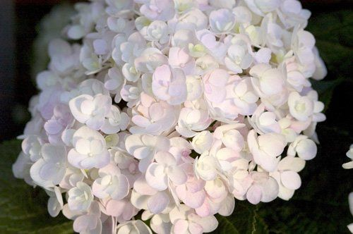 "Hydrangea macr. ""endless summer - blushing bride"""