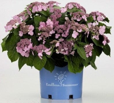 Hydrangea endless summer ® twist-n-shout ™