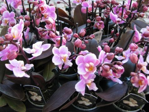 Mini phalaenopsis with burgundy leaf