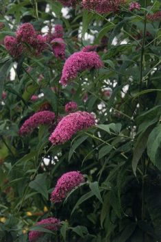 "buddleja davidii ""fascinating"""
