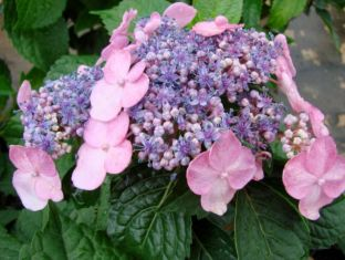 hydrangea Endless Summer® Twist-n-Shout™