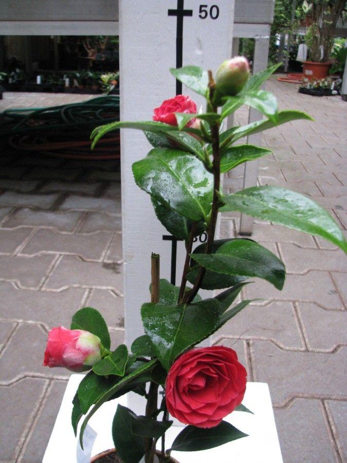 Camellia reticulata \