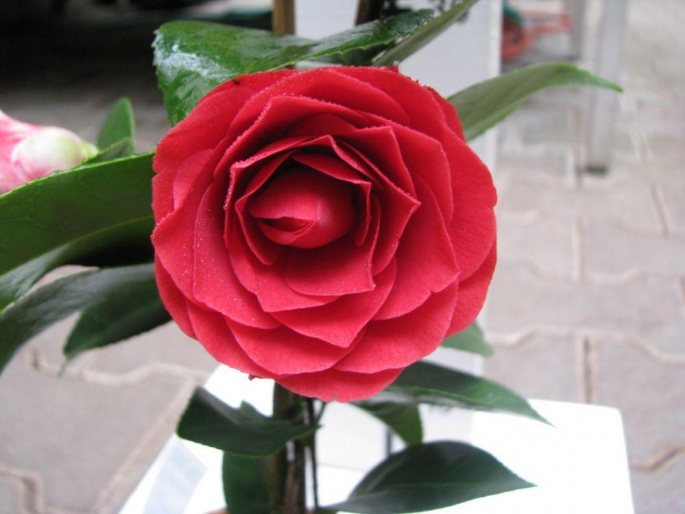 camellia reticulata black lace kam lie kv tin stv plantica. Black Bedroom Furniture Sets. Home Design Ideas