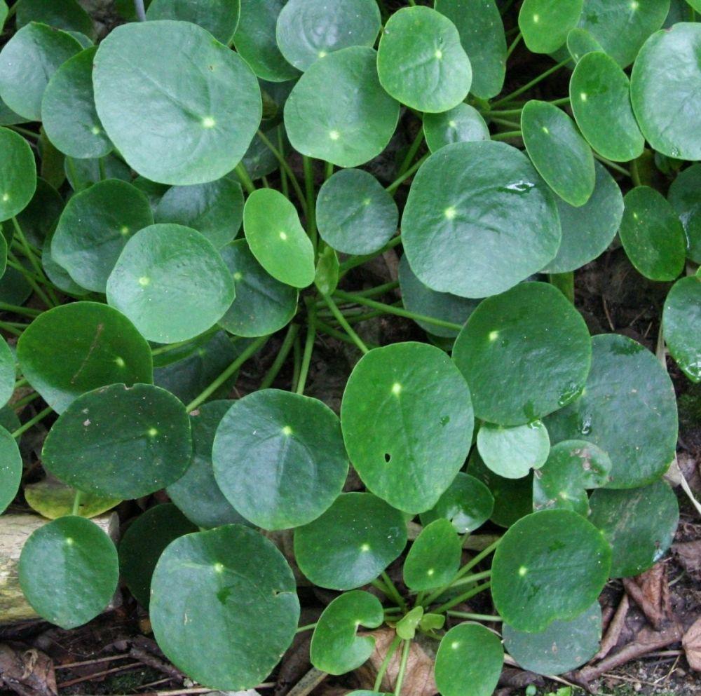 Pilea peperomioides florist 39 s plantica for Plante pilea