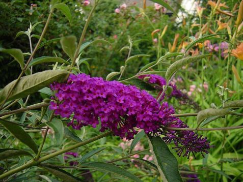 "Buddleja davidii ""nanhe purple"""