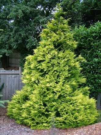 "Chamaecyparis lawsoniana ""golden wonder"""