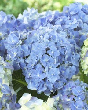 "Hydrangea macrophylla ""forever & ever ®"" blue heaven"