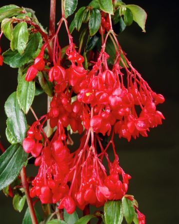 Fuchsioides red begonia