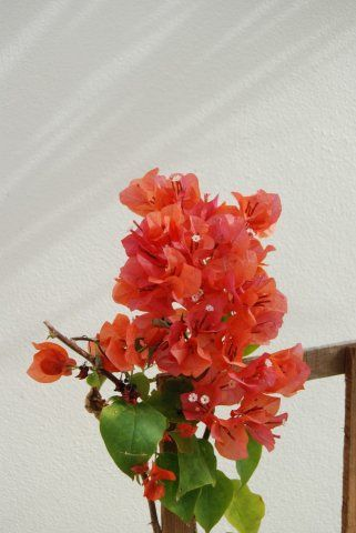 "Bougainvillea ""sundown orange"" - bugenvilea"