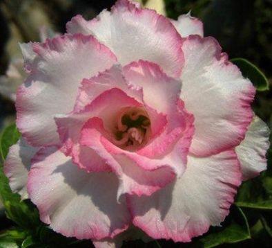 Pouštní růže prodej