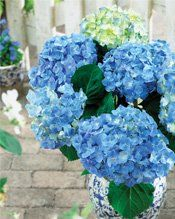 "hydrangea macrophylla "" forever&ever ® "" blue heaven """