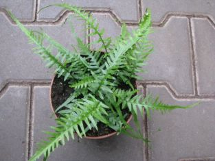 "asplenium ebenoides ""dragon´s tail"""
