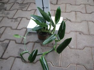 "philodendron ""cobra"" - filodendron"