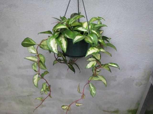 Hoya Carnosa Quot Tricolor Quot Florist S Plantica
