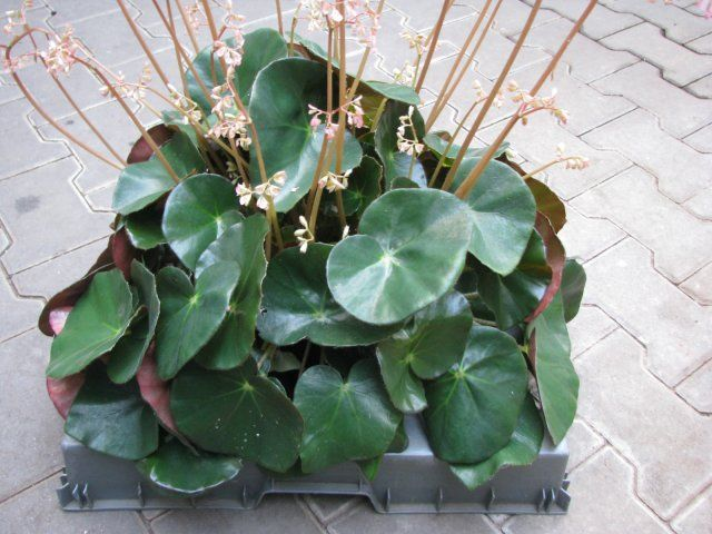Begonia erythrophylla \