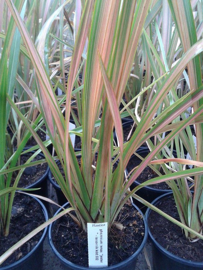 Phormium Tenax Quot Jester Quot Florist S Plantica