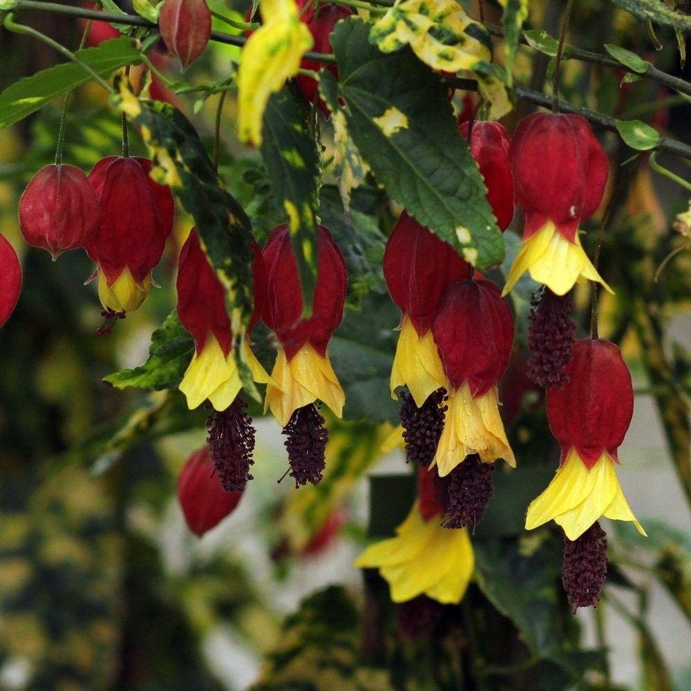 Abutilon Megapotamicum Variegata Florists Plantica