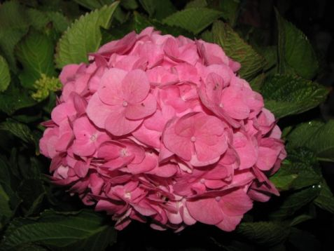 "Hydrangea macrophylla ""forever & ever ®"" pink"