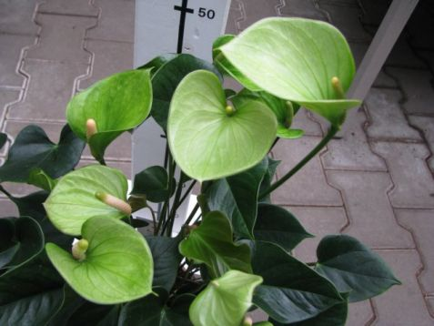 "Anthurium andreanum ""anthedesia green"" - anturie, toulitka"